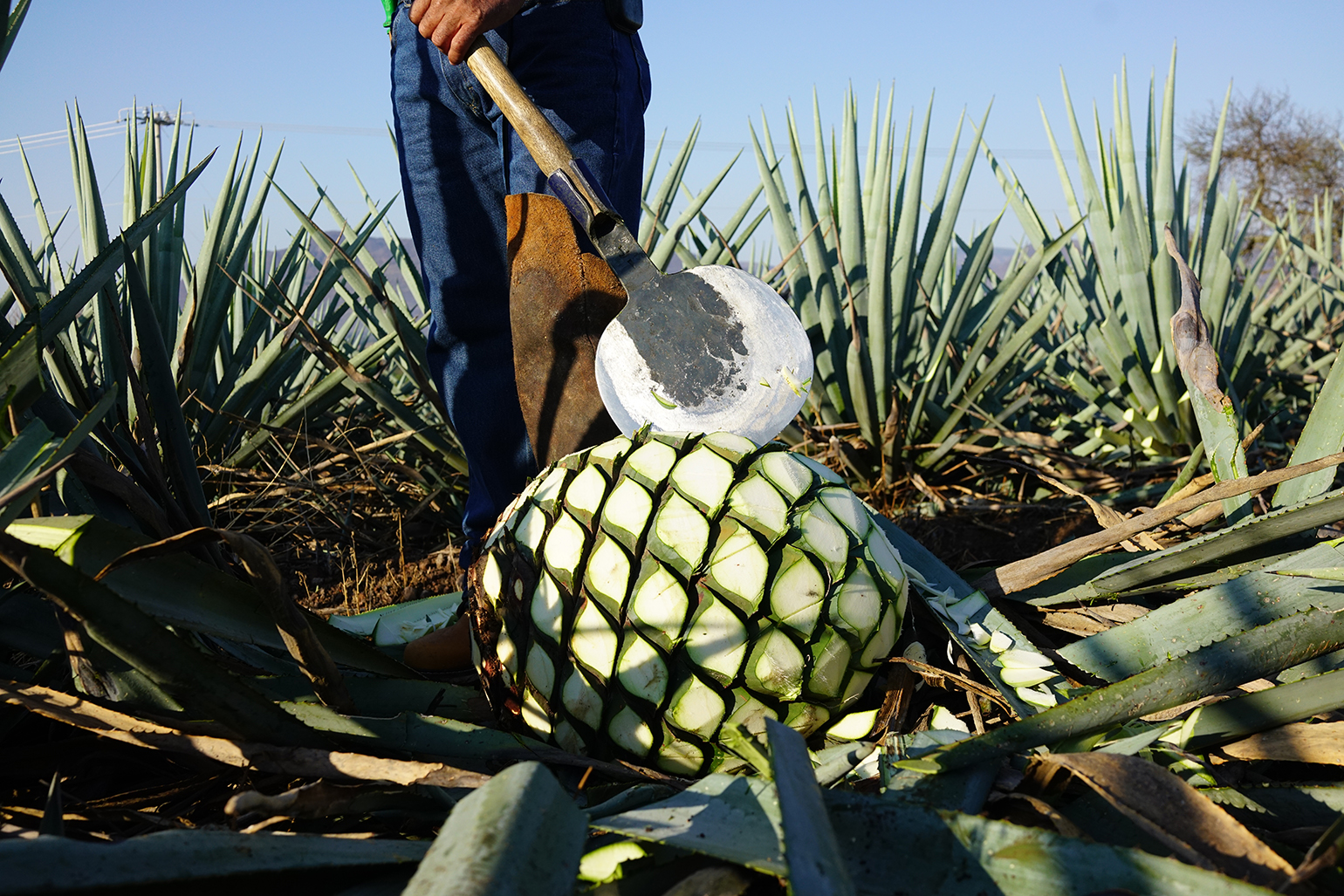 Cazadores_Agave-Lifecycle_Agave-Field-Pina-1.jpg